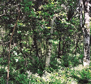 20150310-ebony-forest-in-mauritius