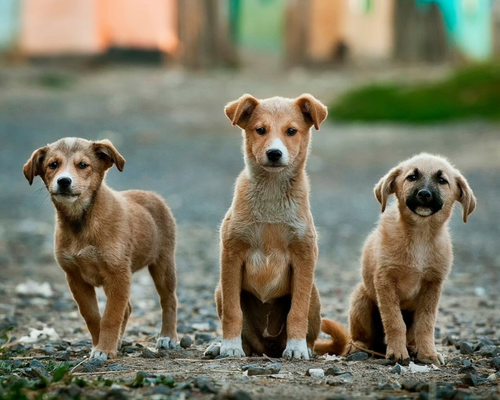 stray_dogs